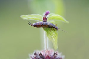 Earwig isolated on the flower.