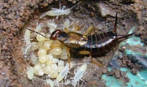 Earwig with eggs and the young in their nest.