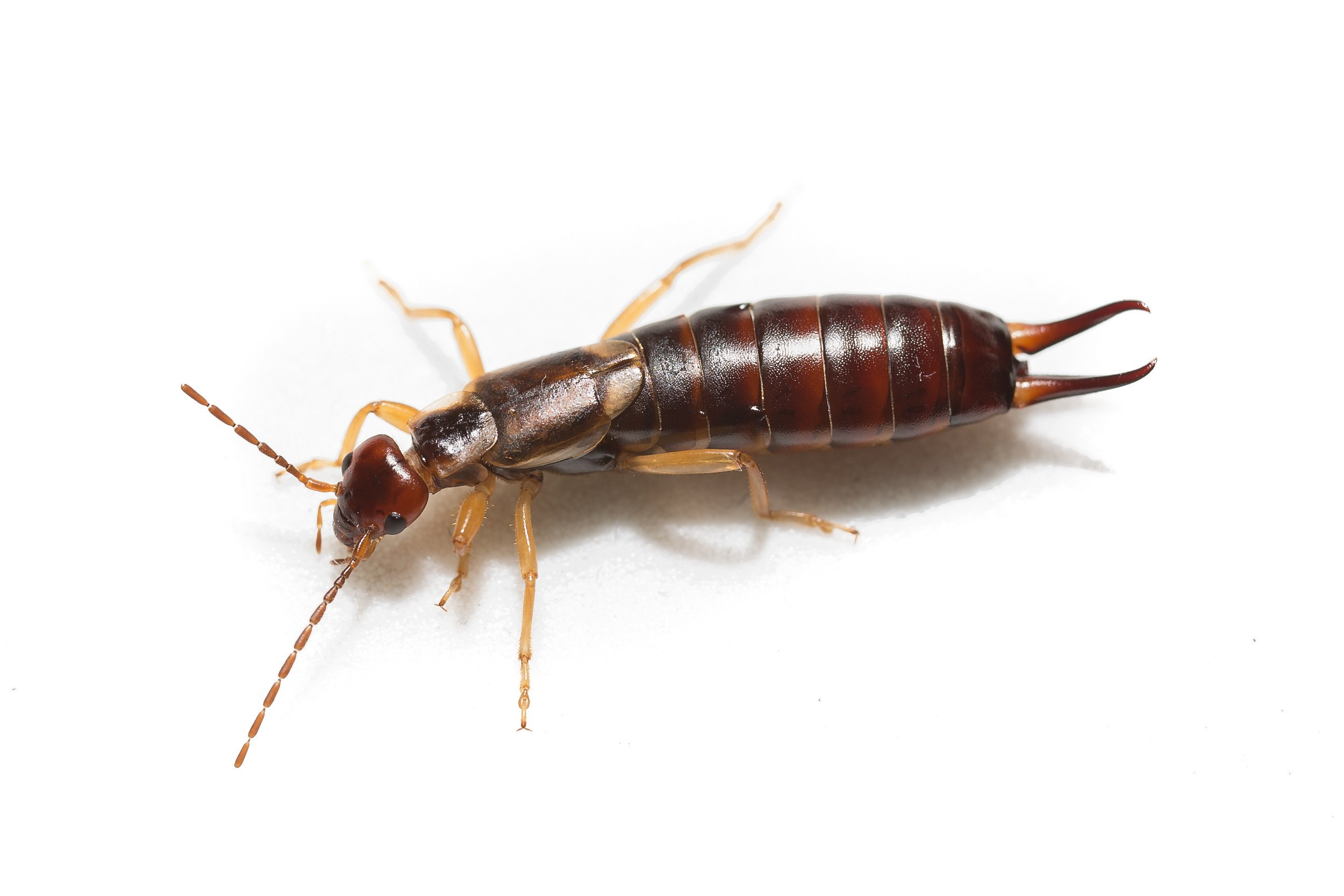 How To Get Rid Of Earwigs 8 Effective Commercial Repellents Traps Pestwiki