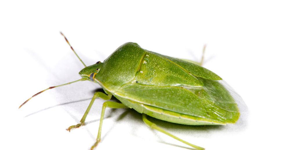 Green stink bug isolated on the white.