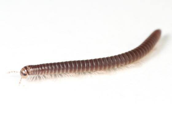 Millipede isolated on white background.