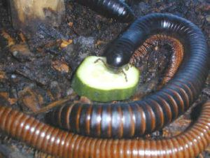 Giant millipede is eating cucumber slices.