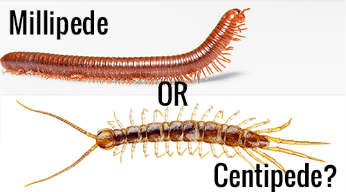 "Millipede and centipede with words ""Millipede OR Centipede?"" on the white."