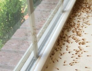 3 Easy Ways To Get Rid Of Flying Termites Fast Pest Wiki