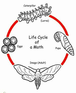 Moth Life Cycle