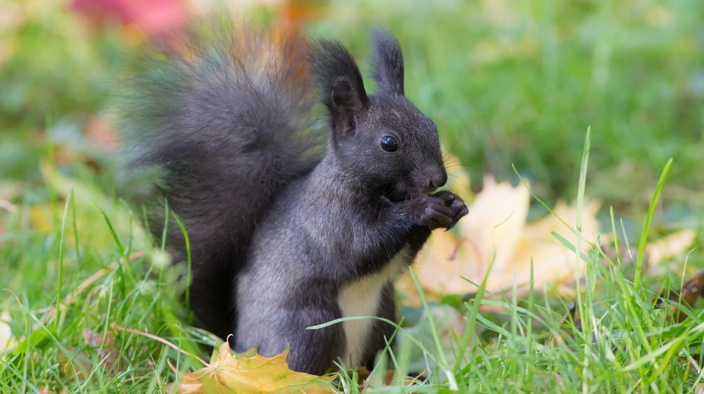Squirrels belong to the rodent family and have their close relatives of prairie dogs, marmots, and chipmunks. They are omnivorous and can eat all sorts of ...