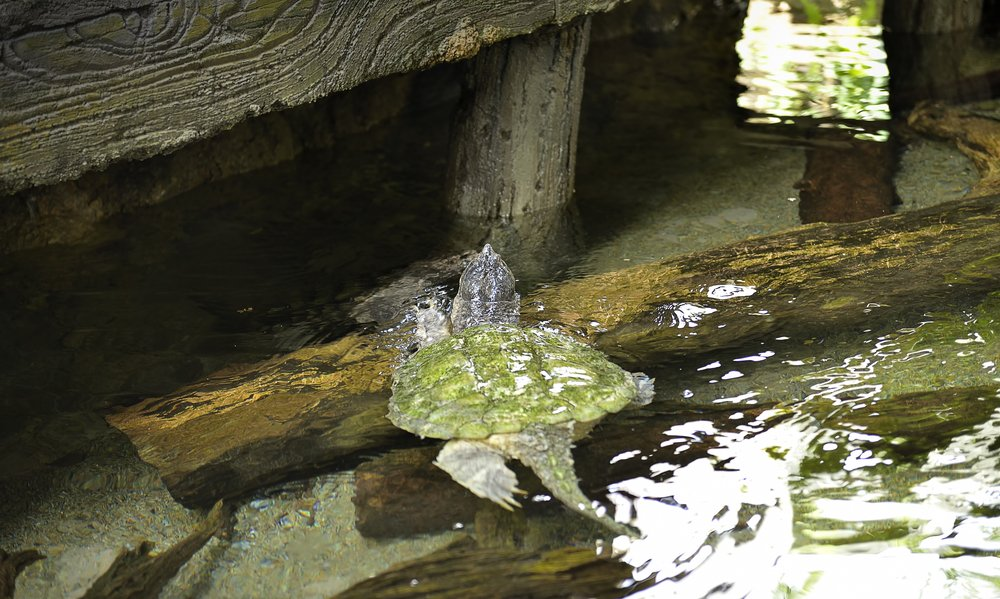 Alligator Snapping Turtles in water