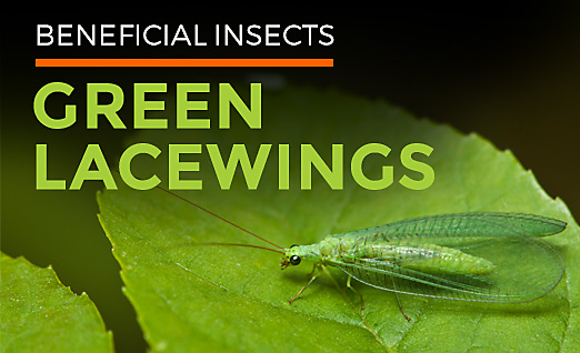 Benefits of Using Insects Like Lacewing
