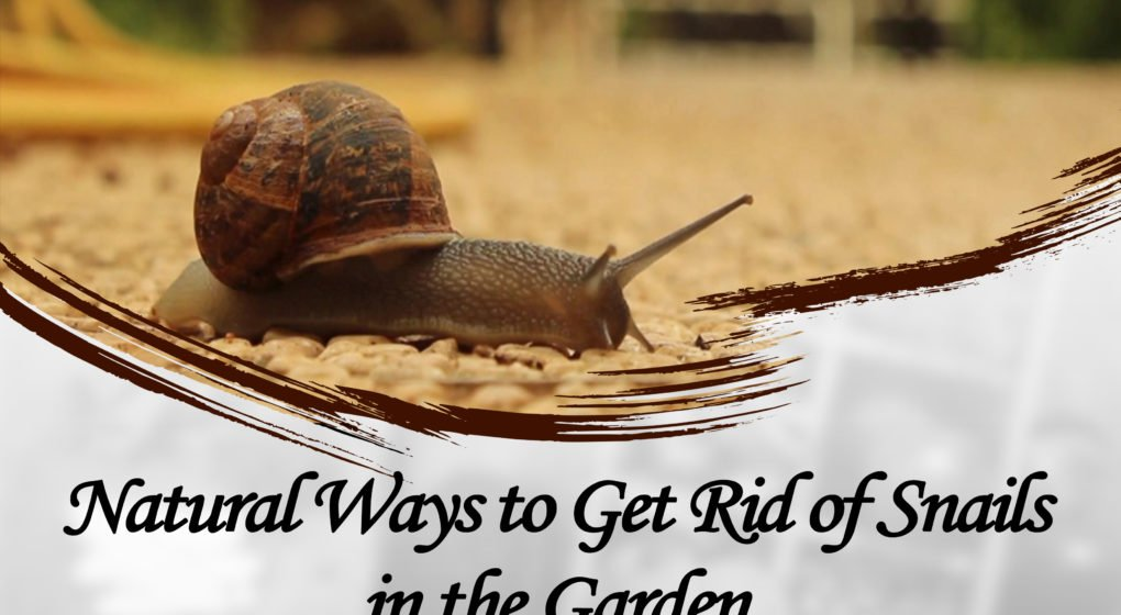 Gardeners have a common enemy and it is not aliens but snails and slugs. Snails and slugs are specialists when it comes to wasting the effort of the ...