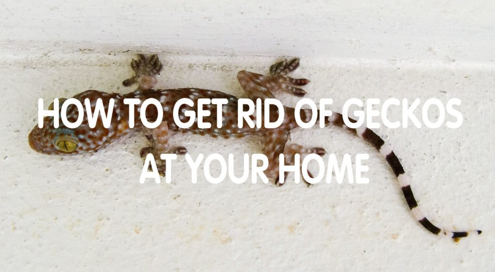 how to get rid of house lizards in malaysia