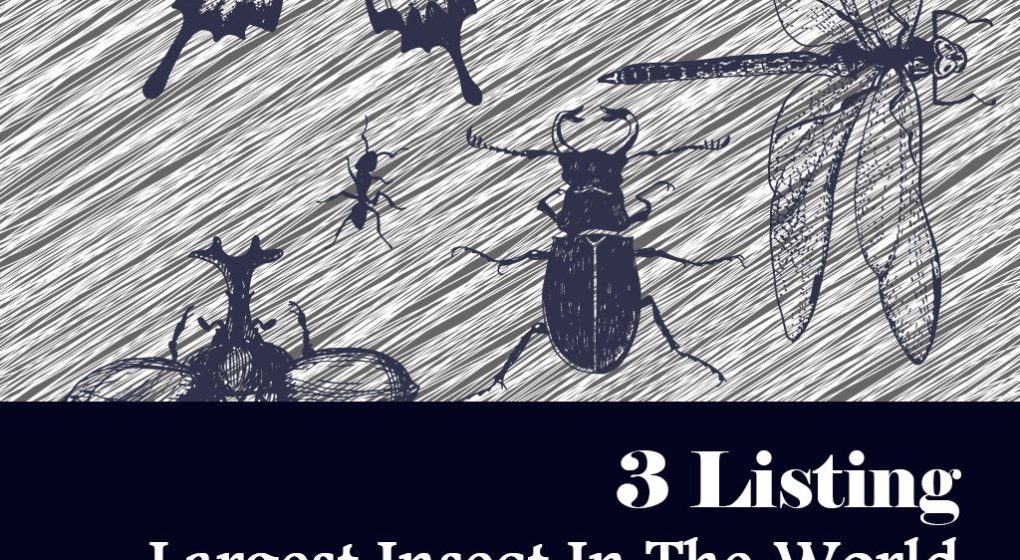 Largest Insects