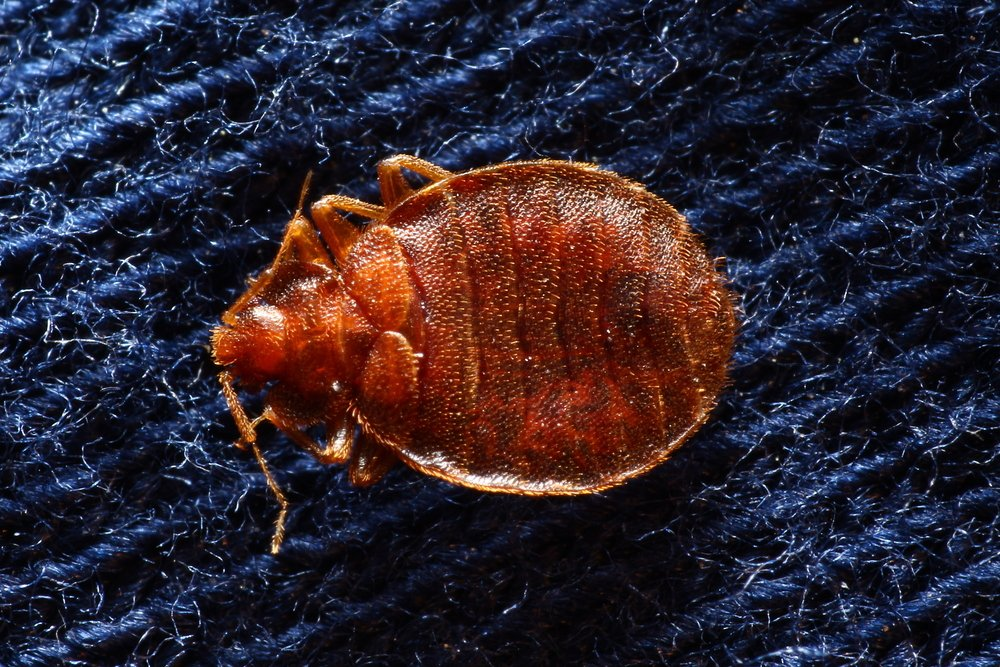 Hotel Bed Bug