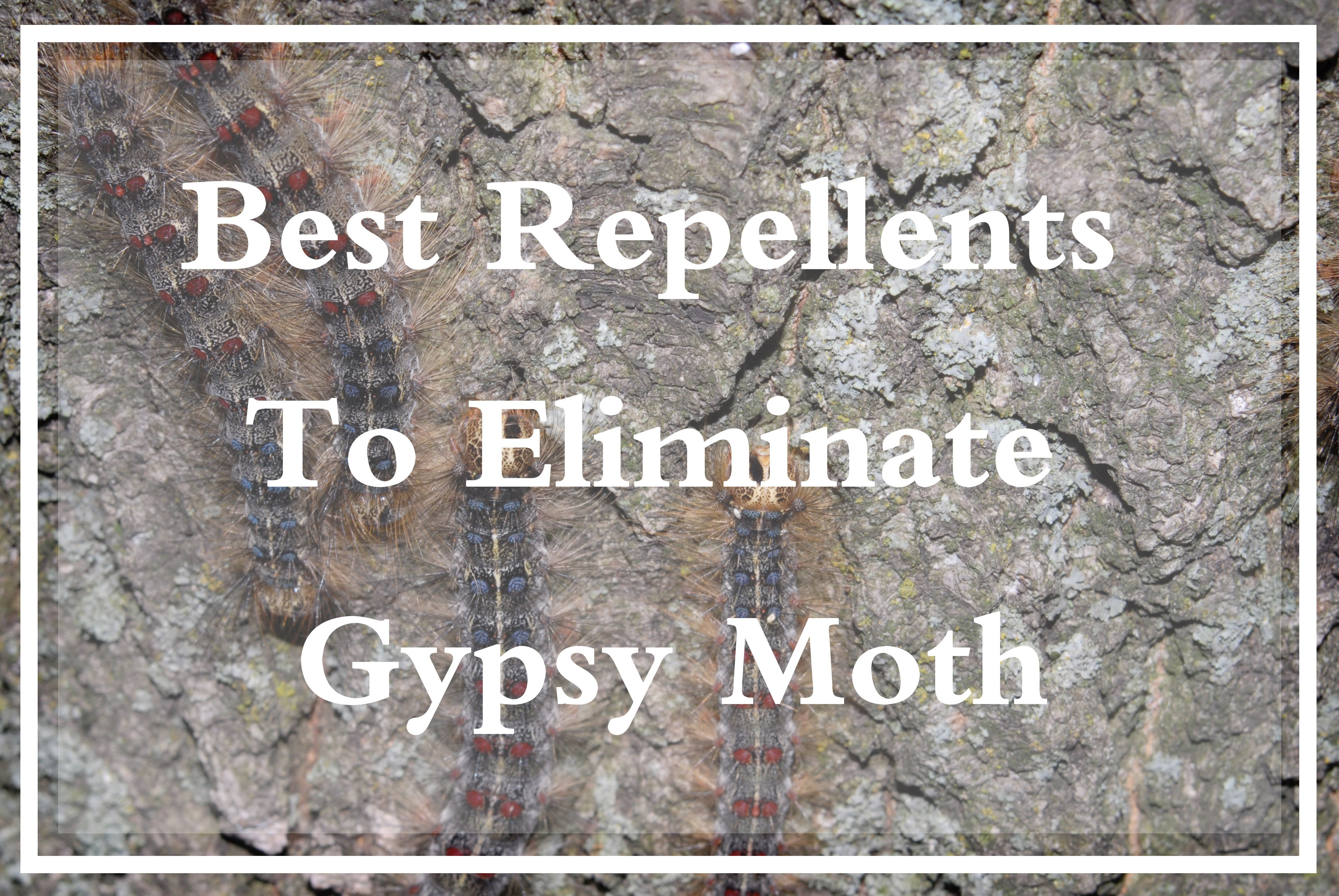 Best Gypsy Moth repellent