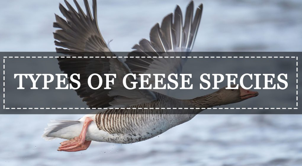 Geese types