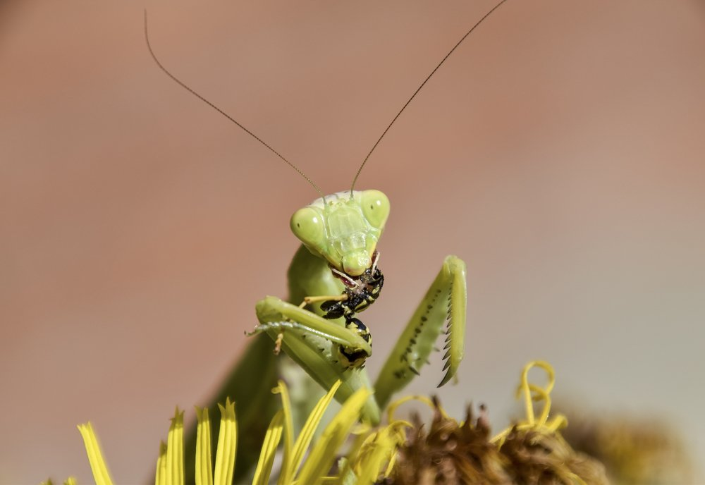 Chinese Mantis as Biological Pest Controller