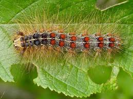 Damages caused by the gypsy moth caterpillars