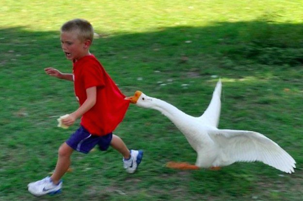 Geese Attacks You