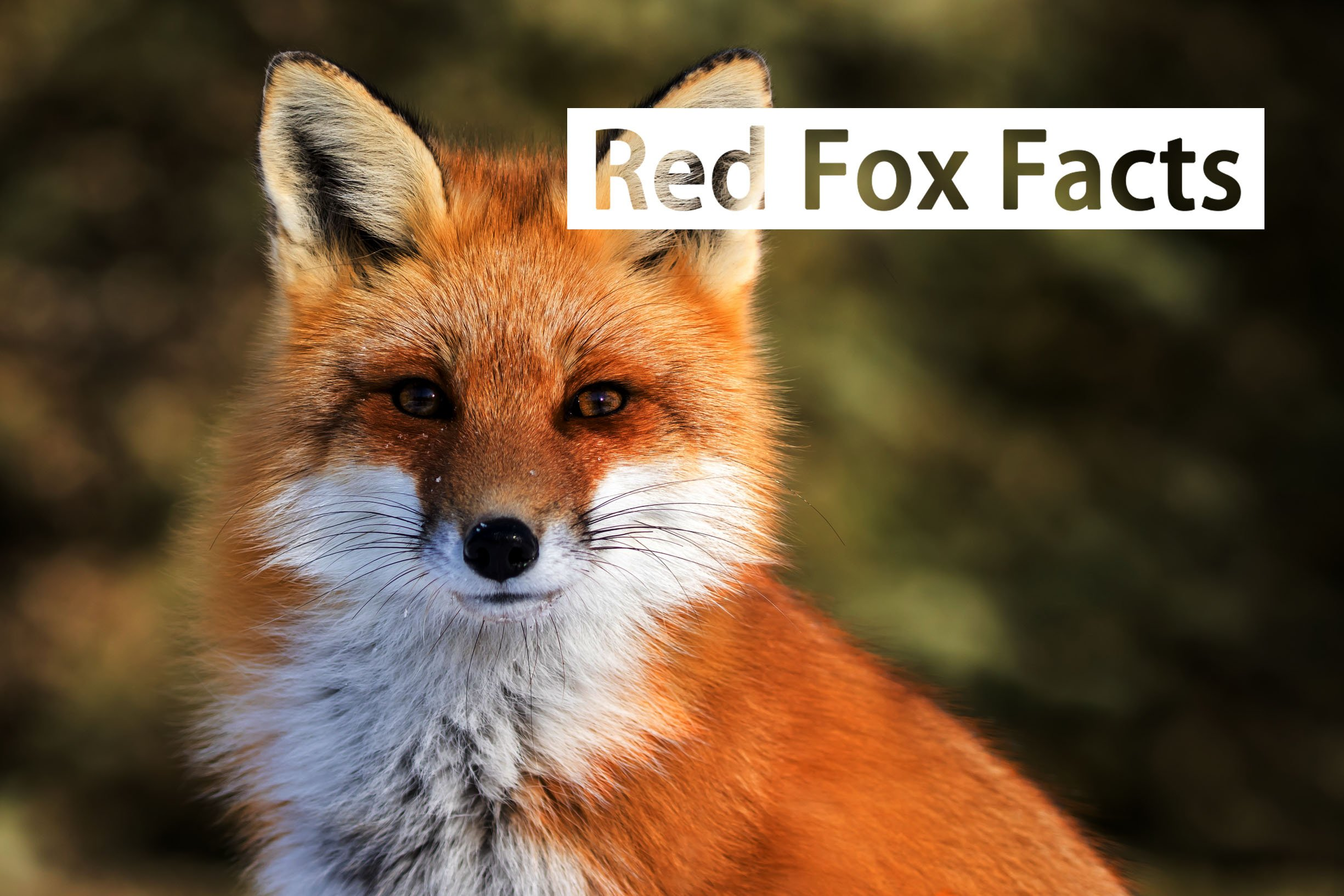 Mighty Red Fox Facts