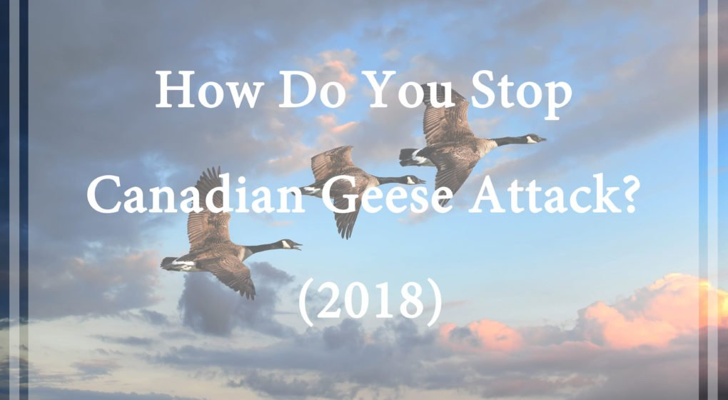 Stop Canadian Geese Attack