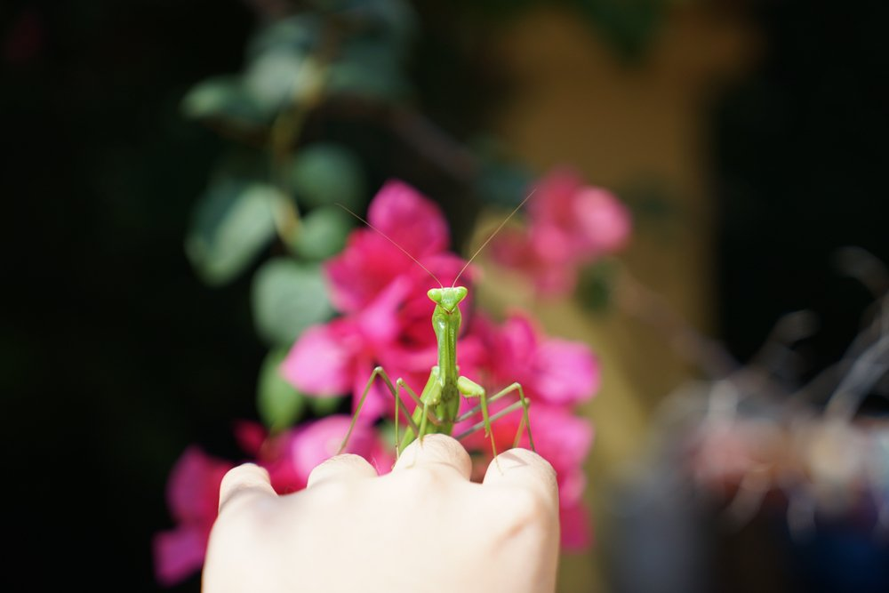 keep mantis as pet