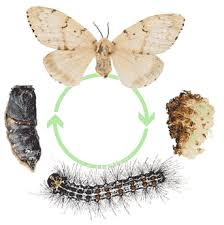 life cycle of Gypsy moth