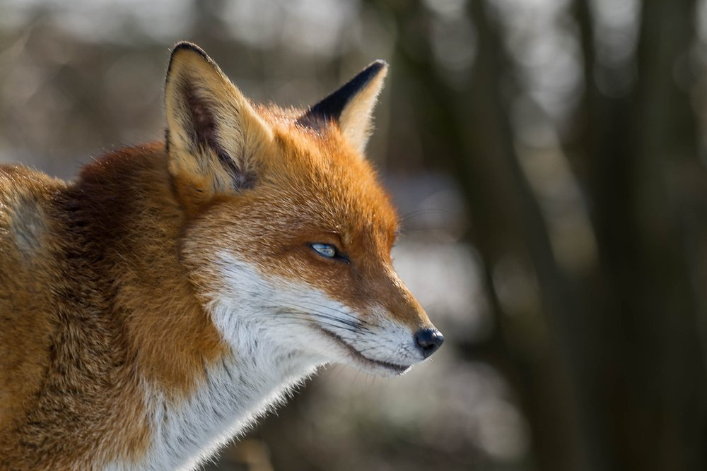 whiskers red foxes
