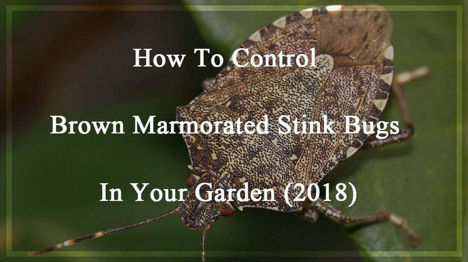 Control Brown Marmorated Stink Bugs