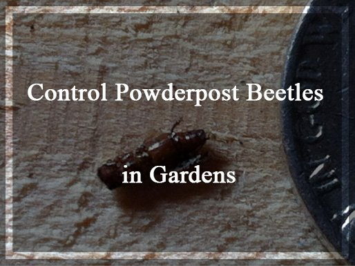 Control Powderpost Beetles Naturally