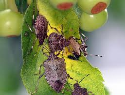 Damage Caused by Brown marmorated Stink bugs