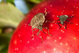 Harmness of Brown Marmorated Stink Bug