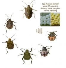 Life-Cycle of Brown Marmorated Stink Bugs
