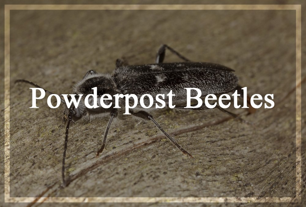 Important Powder post Beetles Facts