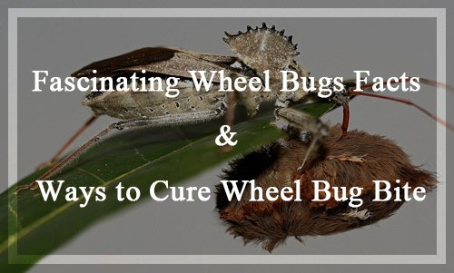 Wheel Bugs Facts