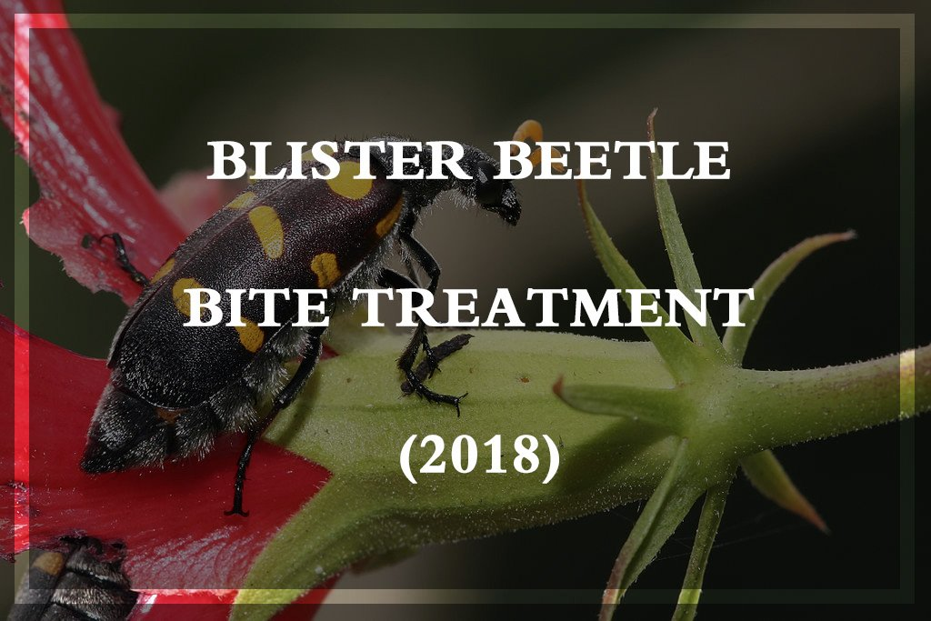 Blister Beetle Bite Treatment