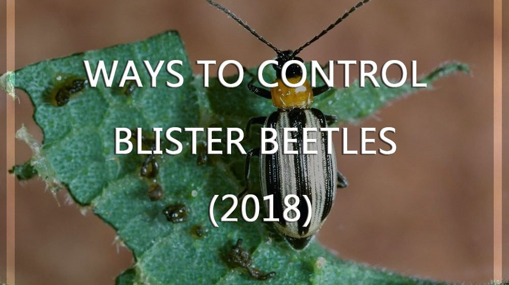 Control Blister Beetles