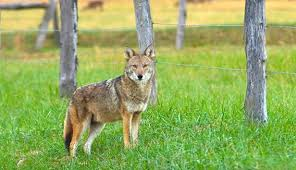 Keep Coyoto Away your Garden Naturally