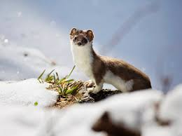 Weasel Sounds