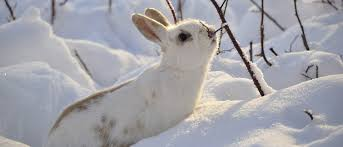 Wild Rabbits Eat in the Winter