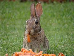 Wild Rabbits Eat