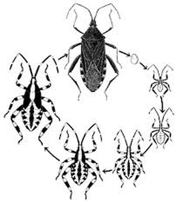 All Assassin Bug Facts You Need to Know (2019) - Pest Wiki