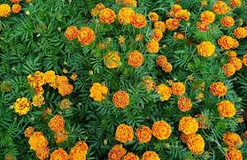 French and Mexican marigolds