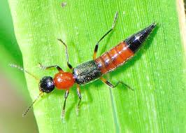 Identifying a Rove Beetle
