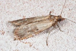 Pantry Moths Come From