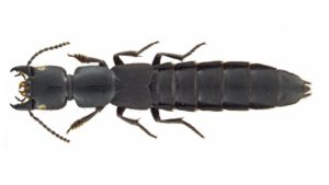 Rove Beetles in North America
