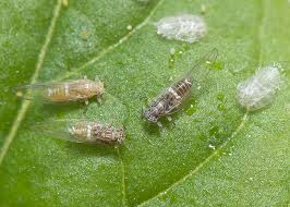 What is Psyllid