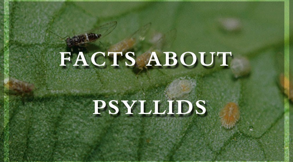 facts about Psyllids