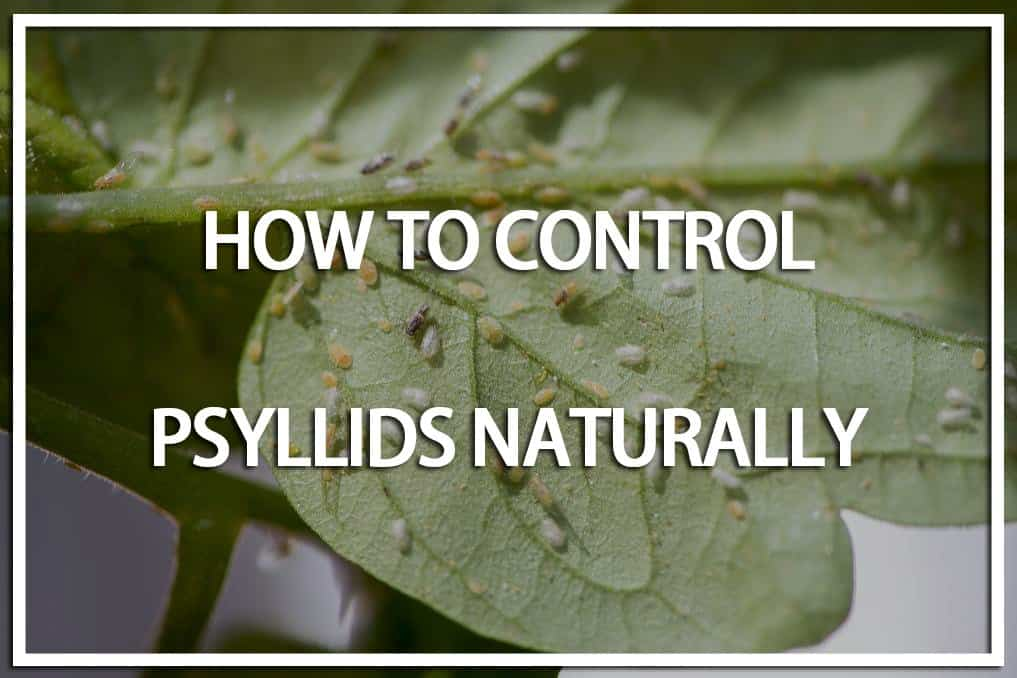 how to Control Psyllids