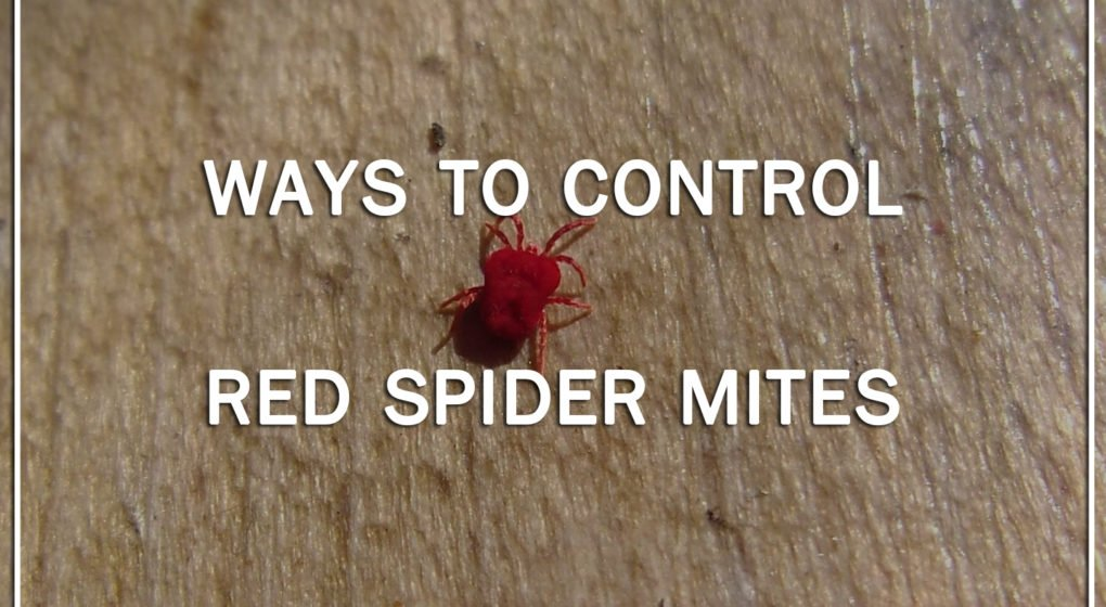 ways to control red spider mites