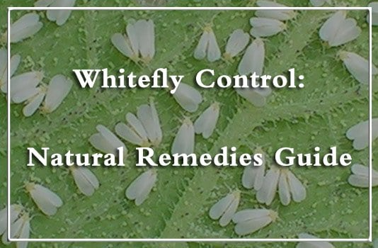 whitefly control remedies