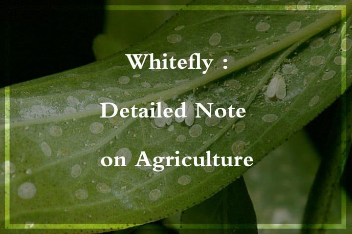 whitefly on agriculture